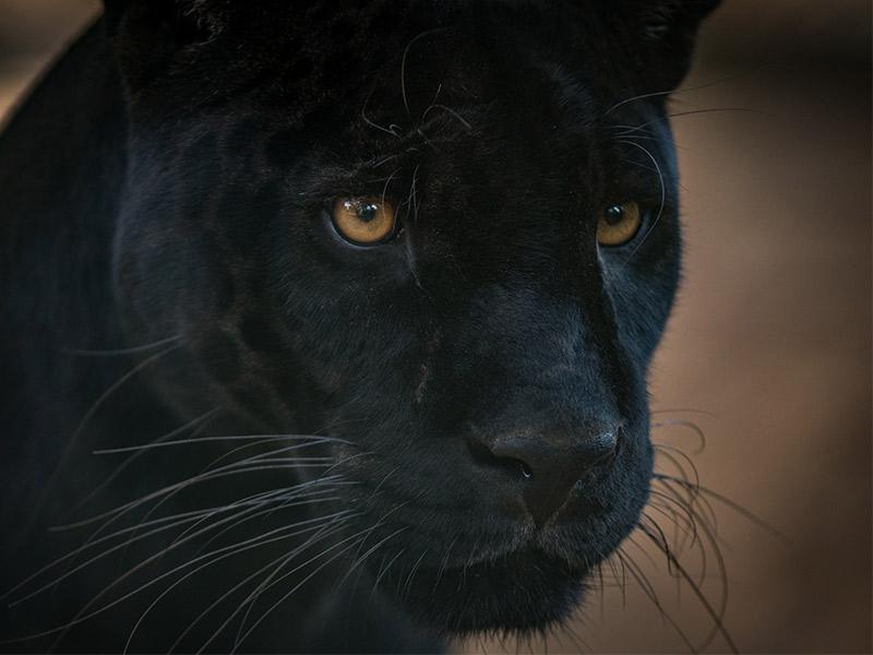 kelvyn-park-black-panther-eyes