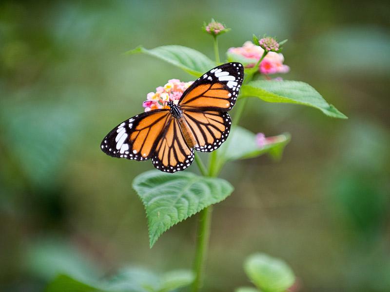 kelvyn-park-monarch-butterfly-on-flower